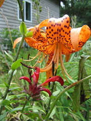 The Orange Tiger Lilies are Back (amyboemig) Tags: flowers red summer orange flower crimson garden lily august spots beebalm tigerlily perennials
