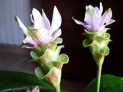 Curcuma lila claro (targarina) Tags: naturaleza flores planta tallo hojas flor rosa jardn lilas maceta