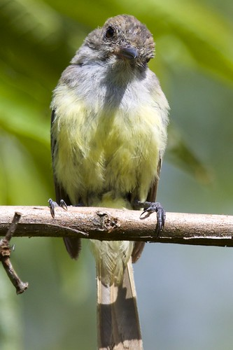 Galapagos Fly Catcher (Myiarchus magnirostris) Stares Back