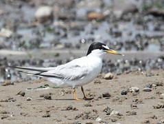 Least Tern (Tombo Pixels) Tags: bird canon newjersey south nj handheld least tern amboy tombo leasttern southamboy raritanbaywaterfrontpark twb1