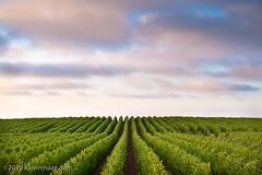 100720_calif-central-coast-trip-193-photo (mizz maze) Tags: california ca trip travel usa landscape vineyard wine farm july rows grapes agriculture centralcoast 2010 authorkarenmaze