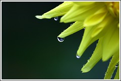 Yellow Dahlia With Water Drops (Iguanasan) Tags: dahlia canada flower drops novascotia halifax waterdrops halifaxpublicgardens