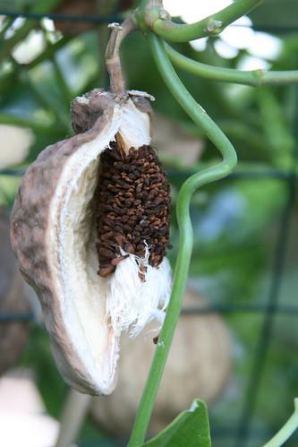 mystery vine seed pod