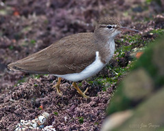 Spotted Sandpiper (non breeding) (SARhounds) Tags: california lajolla childrenspool spottedsandpiper naturesfinest actitismacularia coth supershot mywinners actitismacularius ultimateshot avianexcellence birdperfect