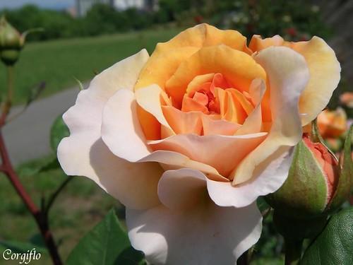 BlogJardin-100815-rose