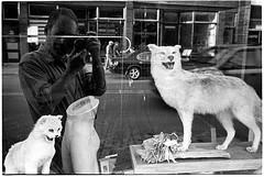 07102010fr14 (_smith_) Tags: road coyote street leica ny film me window taxidermy hancock bobcat xtol11 35mmsummicron arista400