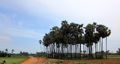 A stand of trees in Jaffna.