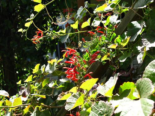 Vitis, Keckiella cordifolia