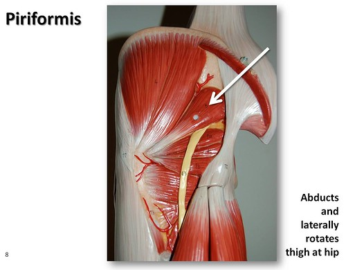 Piriformis Muscles Of The Lower Extremity Anatomy Visual Atlas Page 8