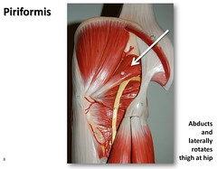 Piriformis - Muscles of the Lower Extremity An...