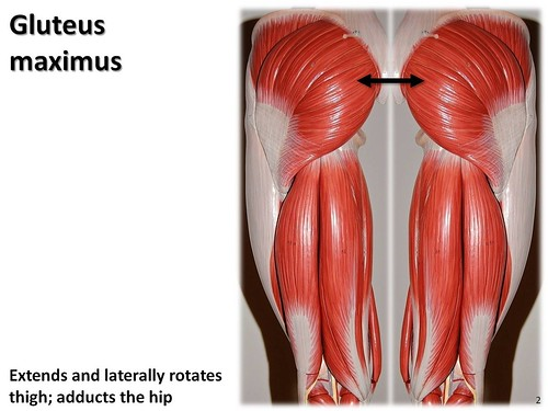 Gluteus maximus - Muscles of the Lower Extremity Anatomy Visual ...