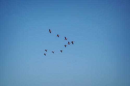 geese v