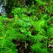 Green Ferns Running Water Devil's Millhopper