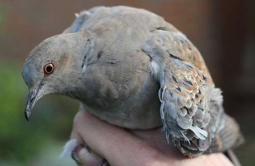 Juvenile Turtle Dove