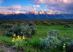 wildflower meadow under Grand Teton
