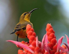 Yellow-bellied Sunbird aka Olive-backed Sunbird (Inigo images) Tags: yellow queensland cairns bellied sunbird tropicalflowers nectarinia olivebackedsunbird cinnyrisjugularis jugularis cannonballflower nectariniidae canonef180mmf35lusmmacrolens