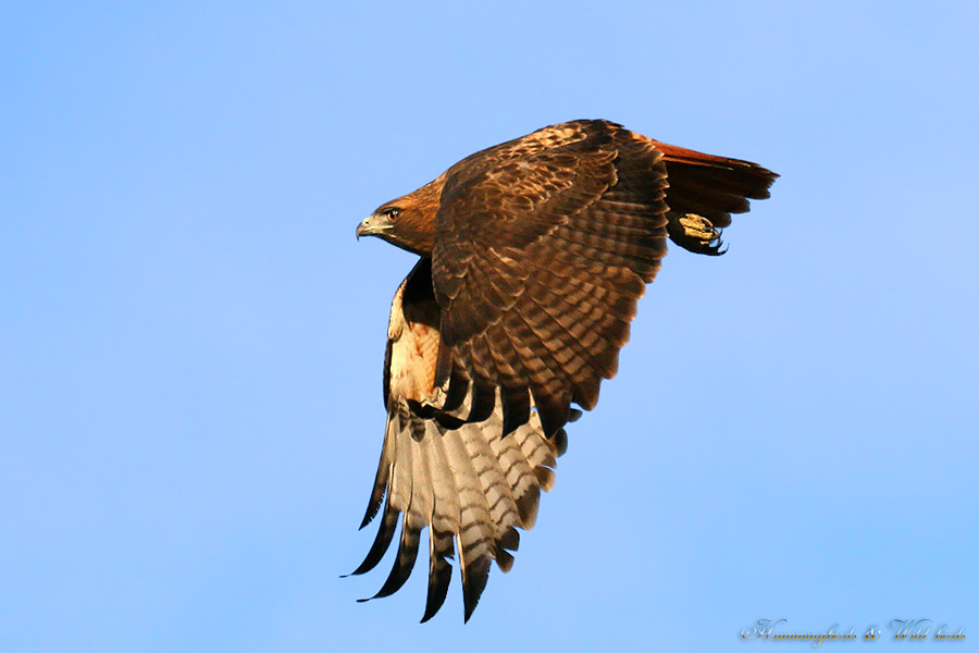 Red-tailed-Hawk-120909