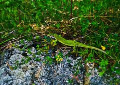 Large unidentified lizard (Italian alps, Lake Garda area)