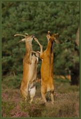 Red Deer Fight (Dennis Rademaker) Tags: red orange brown white game color green nature colors fight purple wildlife meadow deer antlers match tall antler rut rutting explored specanimal animalkingdomelite dennisrademaker