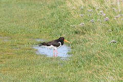 Bathing in a puddle (ivlys) Tags: summer vacation nature water northsea nordsee ivlys inseljuist juistscan islandjuist