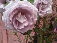 La rosa lila (Cristina Bruseghini de Di Maggio) Tags: flowers naturaleza flores flower garden cristina flor jardin natura lila fiori fiore rosas petalos colorphotoaward macrisbruse