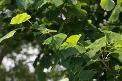 木の葉(PL)