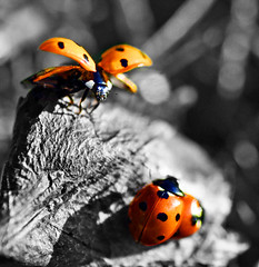 Fly Away Home (Aimee Goold) Tags: macro nature grass garden insect leaf ladybird tamron 90mm selectivecolour nikond90