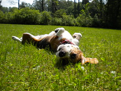Have A Good Time (MusicRevisited) Tags: new york trees summer dog newyork simon beagle nature grass puppy paul outdoors time good over lawn have roll elma a
