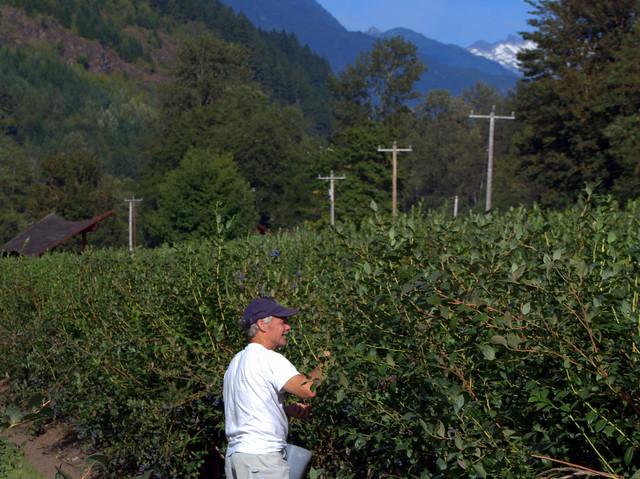 Picking Fresh Organic Blueberries