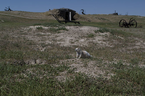 little White Prairie Dog in the Prairies