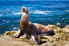 His Majesty! (Kartik J) Tags: ocean blue sea portrait animal rocks sandiego lajolla pacificocean seal pinnipeds seals lajollashores sonycamera harborseals pinniped cuteanimal a500 sonydigitalslr sonyalphadslr earedseal cuteseal sal70300 sal70300g sal70300gssm sonydslra500 sonyalphadslra500 kartikjayaraman