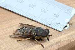 Giant Horsefly (Sheepsheds) Tags: uk england lake west macro female canon giant insect blood feeding district north tubes large 100mm biting cumbria extension f28 horsefly gosforth kenko tabanus sudeticus
