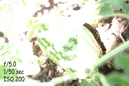 M-watermelon-1