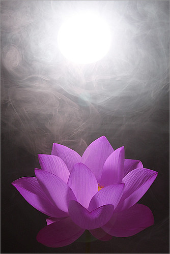 Lotus Flower / purple / white / - IMG_0588-purple1