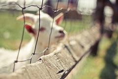 {Baaaaaaaaaaaa} Fence Friday (Jaime973) Tags: canon fence 50mm raw farm goat tgif hff baaaaaaaaa fencefriday fenchfriday goatsloveflickr doingthefridaydance sodosheepandroosters