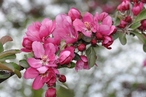 Crabapple blossoms... Spring in Red Lodge, MT!