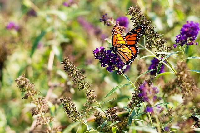 JennyB- Butterfly.jpg