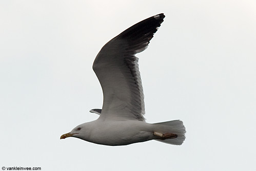 Lesser Black-backed Gull, adult, G[PP0]