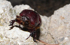 Oryctes nasicornis (Rhinoceros Beetle), female (Kamelfisk) Tags: rhinocerosbeetle oryctesnasicornis nsehornsbille
