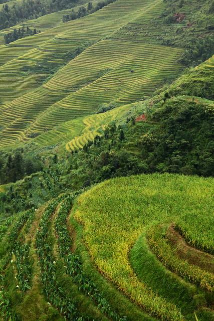 Longsheng Rice Terrace, Guangxi, China