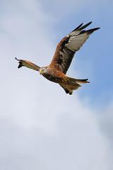 Red Kite (paulsflicker) Tags: red kite bird birds wales landscape paul landscapes photo europe flickr photographer photos hawk farm photographs prey buzzard flikr mid flicker buzzards hawks gagarin bullen gigrin