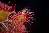Round leaved Sundew (Drosera rotundifolia)