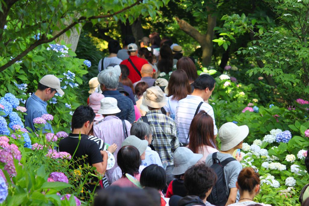 Hydrangeas - Exploring Hase, Kamakura part2 (5)