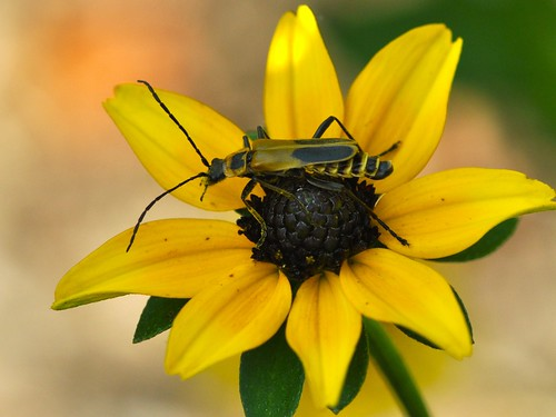 Bug on Black-eyed Susan... Summer, 2010