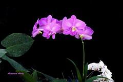 Orqudeas/Orchids (Altagracia Aristy) Tags: amrica orchids dominicanrepublic tropic caribbean orqudeas antilles laromana caribe repblicadominicana trpico antillas quisqueya altagraciaaristy fujifilmfinepixhs10 fujihs10 fujifinepixhs10 carabi carib