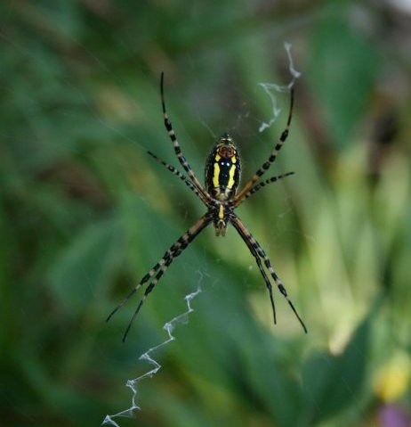 GoldenArgiope, Sept. 2007