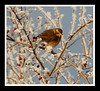 Frosty Redwing...... (Levels Nature) Tags: uk winter england white bird nature berry frost berries somerset hedge thrush redwing mendips doulting mendiphills animalkingdomelite saariysqualitypictures carlsbirdclub