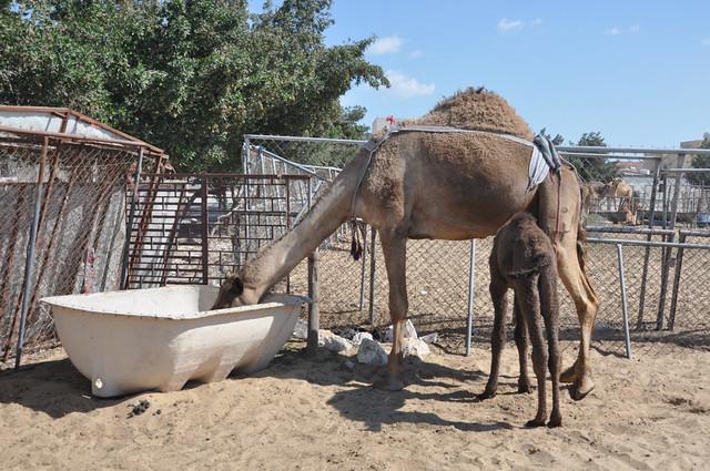 Camel souk-Doha-fev (2)