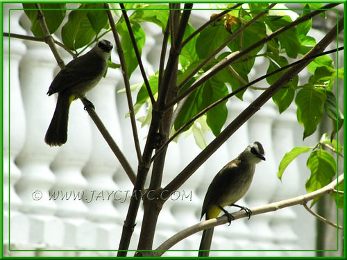Pycnonotus goiavier (Yellow-vented Bulbul) on guard duty at our frontyard, perched on the White Mussaenda tree