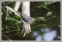 GREY WAGTAIL (merseymouse) Tags: greywagtail nature wildlife animals rivers birds